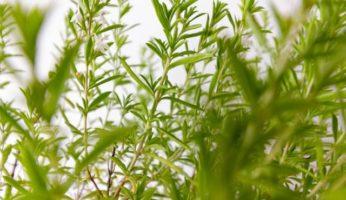 eau de pluie jardin plantes médicinales