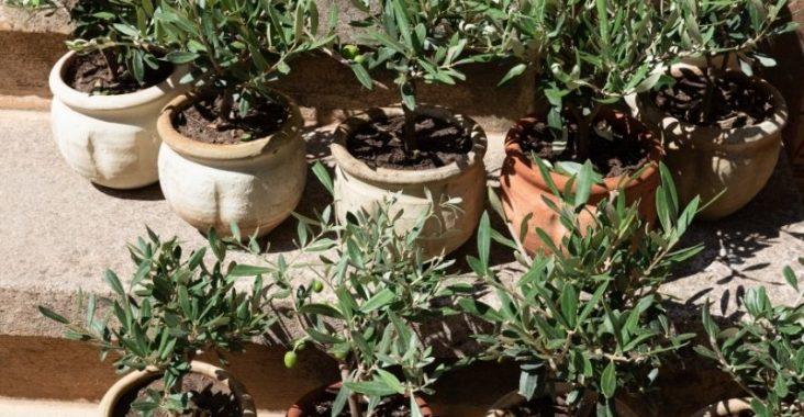 eau de pluie jardin pour les oliviers
